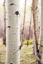 Aspen tree in colorado forest detail shot of a single bark a of aspens Royalty Free Stock Image