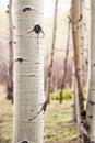 Aspen Tree in Colorado Forest