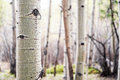 Aspen tree in colorado forest detail shot of a single bark a of aspens Stock Images