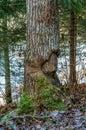 Aspen tree damaged by beaver