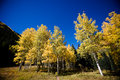 Aspen tree forest yellow in autumn in colorado Royalty Free Stock Image