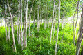 Aspen tree grove in the summer Royalty Free Stock Photography