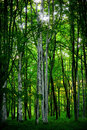 Aspen trees Stock Images
