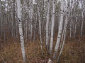 Aspen Trees Royalty Free Stock Photography
