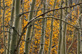 Aspen trees Stock Photography