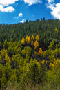 Aspen trees along slope change color Royalty Free Stock Photos