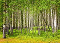 Aspen trees in Banff National park Stock Image