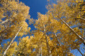 Aspen Trees with Blue Sky Stock Photography