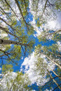 Aspen trees and clouds looking up through a forest of in colorado at a blue sky with white Stock Photography