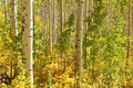 Aspen Trees in Colorado Stock Image