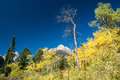 Aspen trees colorful on a mountainside Royalty Free Stock Photos