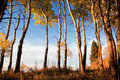 Aspen Trees in Fall Royalty Free Stock Photos
