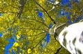 Aspen trees in the fall Royalty Free Stock Photo
