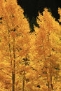 Aspen trees with fall color san juan national forest colorado usa Stock Image
