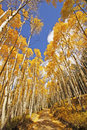 Aspen trees with fall color san juan national forest colorado usa Royalty Free Stock Photos