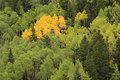 Aspen trees with fall color uncompahgre national forest colora colorado usa Stock Photo