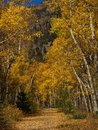 Aspen Trees in the Fall Colorado Stock Photography