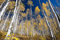 Aspen trees in fall colorado bergen Stock Afbeeldingen