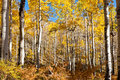 Aspen trees in fall colorado mountains Stock Image