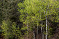 Aspen trees in forest Royalty Free Stock Photo