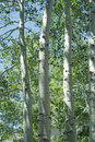 Aspen trees white bark beauty of Stock Image