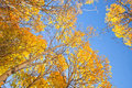 Title: Aspen trees with yellow leaves