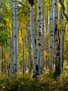 Aspen Trunks in Fall Stock Image