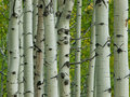 Aspen Trunks in Fall Stock Images