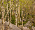 Aspen trunks among granite boulder field Stock Photo