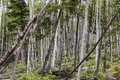 Aspen trunks of trees on a hillside Royalty Free Stock Images