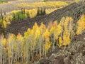 Aspens in autumn Royalty Free Stock Photo