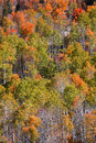 Aspens bright color aspen trees on the mountain in autumn time Stock Photo