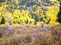 Aspens and Evergreens Royalty Free Stock Photo