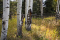 Aspens Royalty Free Stock Photo