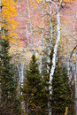 Aspens in the Midst of Pine Trees Royalty Free Stock Photo
