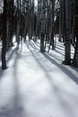 Aspens in the snow Royalty Free Stock Photo