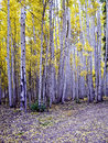 Aspens stand tall Royalty Free Stock Photo