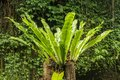 Asplenium nidus Epiphyte leaves close up. Soft focus green leaves of Fern Bird`s Nest in the tropical jungle, exterior outdoor Royalty Free Stock Photo