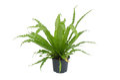 Asplenium nidus fern Royalty Free Stock Photo