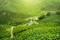 Assam tea plantation Royalty Free Stock Photo