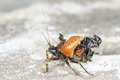 Assassin bug the carries preys Stock Photo