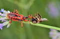 Assassin bug eating a bee Royalty Free Stock Photo