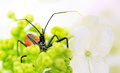 Assassin Bug Hiding In Hydrang...