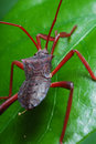 Assassin Bug Nymph Stock Image