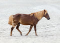 Assateague wild pony a horse of island maryland usa on the beach these animals are also known as horse or chincoteague Stock Image