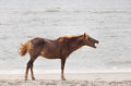 Assateague wild pony a horse of island maryland usa on the beach these animals are also known as horse or chincoteague Royalty Free Stock Images