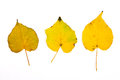 Assort of different autumn aspen tree leaf  on white bac Royalty Free Stock Photo