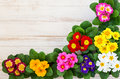 Assorted colorful primula fresh flowers in pots on wooden background top view Royalty Free Stock Image
