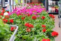 Assortment of colorful red, purple and white pelargonium flowers seedlings in pots in garden shop. Spring season sale.