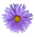 Aster Royalty Free Stock Image